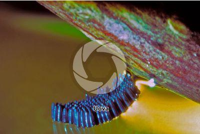 Culex pipiens. Zanzara comune. Uova