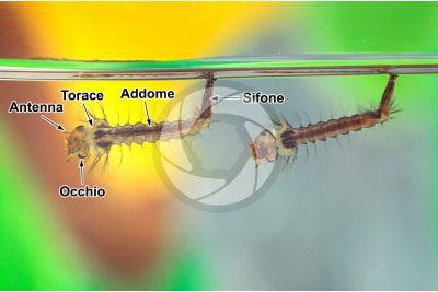 Culex pipiens. Zanzara comune. Larva
