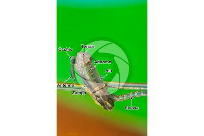 Culex pipiens. Zanzara comune. Stadio di metamorfosi