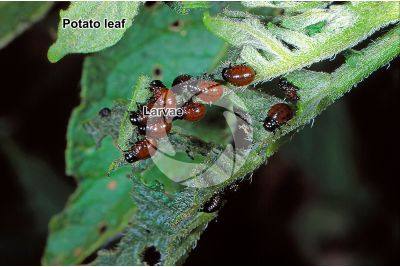 Leptinotarsa decemlineata. Colorado potato beetle. Larva