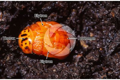 Leptinotarsa decemlineata. Colorado potato beetle. Metamorphosis