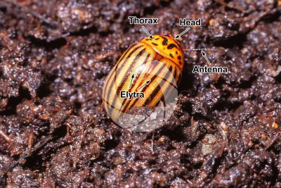 Leptinotarsa decemlineata. Colorado potato beetle. Adult insect