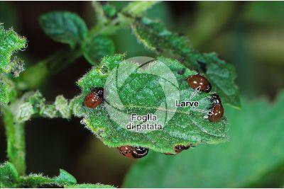 Leptinotarsa decemlineata. Dorifora della patata. Larva