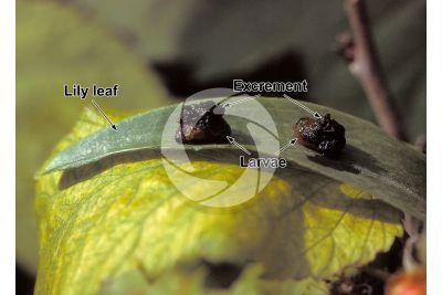 Lilioceris lilii. Scarlet lily beetle. Larva
