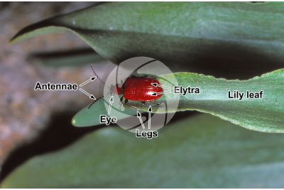Lilioceris lilii. Scarlet lily beetle. Adult insect
