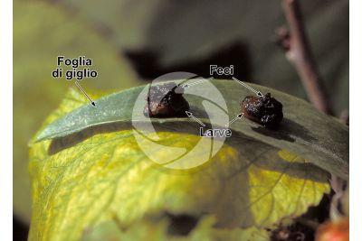 Lilioceris lilii. Criocera del giglio. Larva