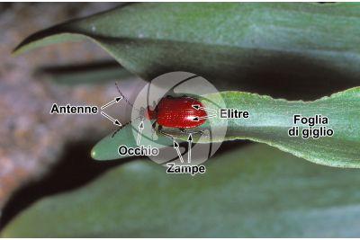 Lilioceris lilii. Criocera del giglio. Insetto adulto