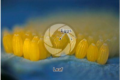 Pieris brassicae. Large white. Eggs