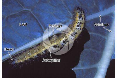 Pieris brassicae. Large white. Larva