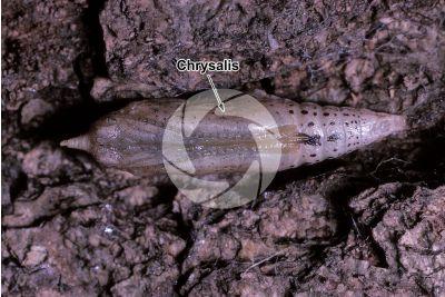 Pieris brassicae. Large white. Pupa