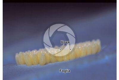 Pieris brassicae. Cavolaia maggiore. Uova