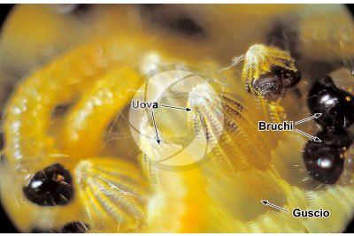 Pieris brassicae. Cavolaia maggiore. Larva