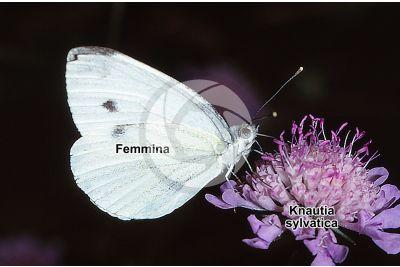 Pieris brassicae. Cavolaia maggiore. Farfalla adulta