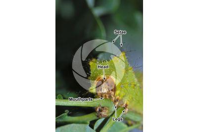 Samia cynthia. Ailanthus silkmoth. Larva