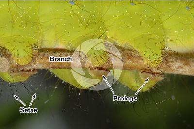 Saturnia pyri. Giant peacock moth. Larva