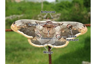 Saturnia pyri. Giant peacock moth. Adult butterfly. Female