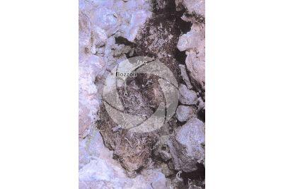 Saturnia pyri. Saturnia del pero. Bozzolo
