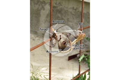 Saturnia pyri. Saturnia del pero. Farfalla adulta. Maschio
