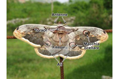 Saturnia pyri. Saturnia del pero. Farfalla adulta. Femmina